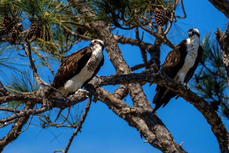 Nesting Osprey in Pensacola Beach