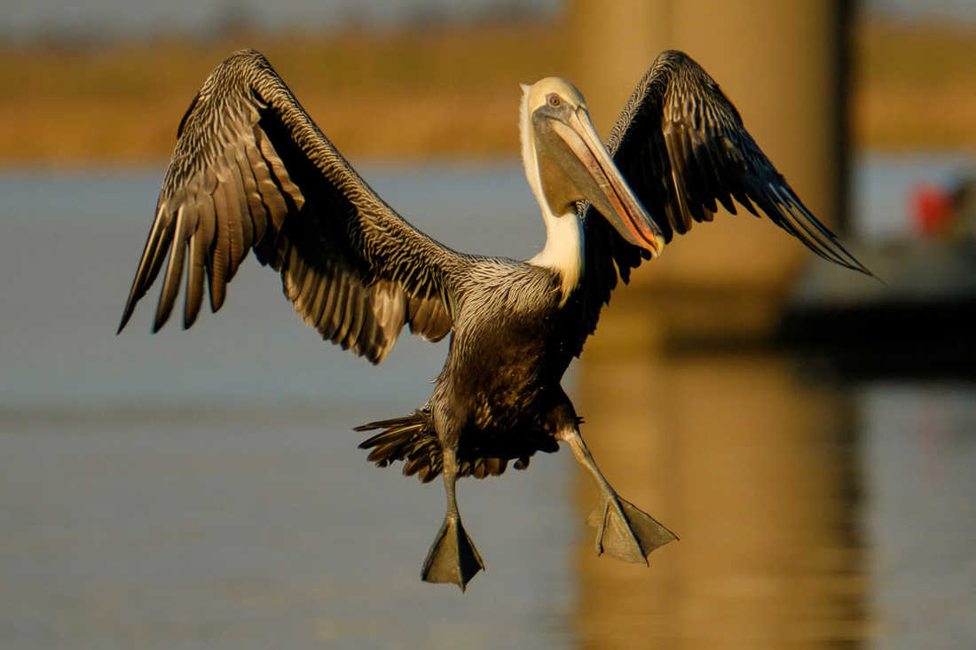 Flying Brown Pelican on the Causeway