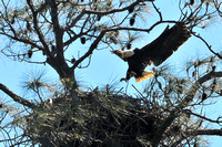 Bald Eagle Nest Gulf Shores
