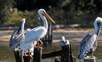 White Pelicans in Daphne,Alabama