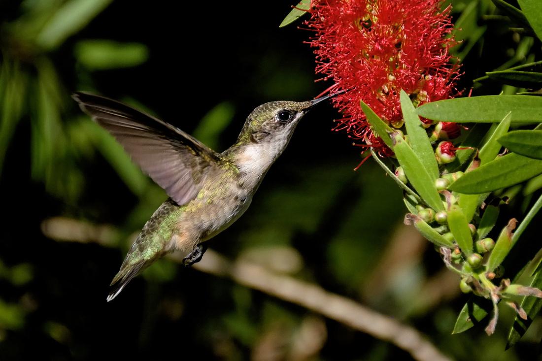 Ruby-throated Hummingbird Photography