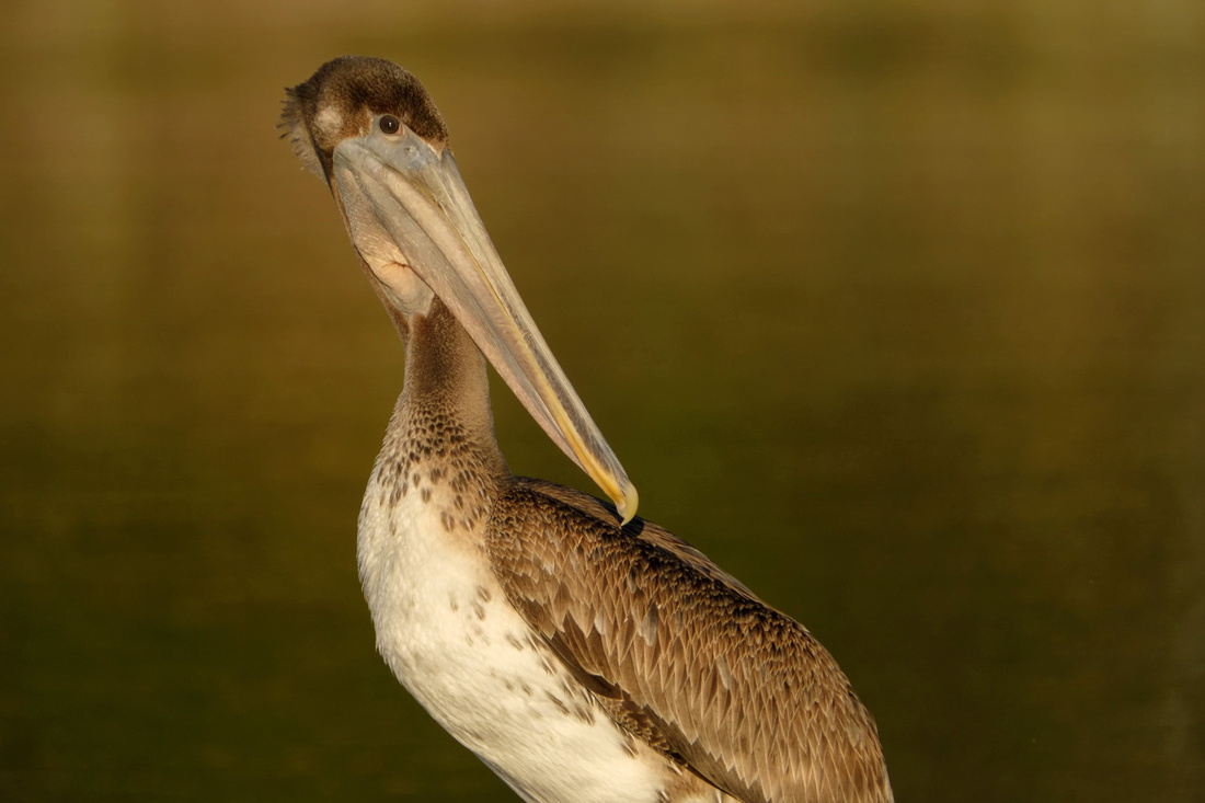 Immature Brown Pelican on the Causeway