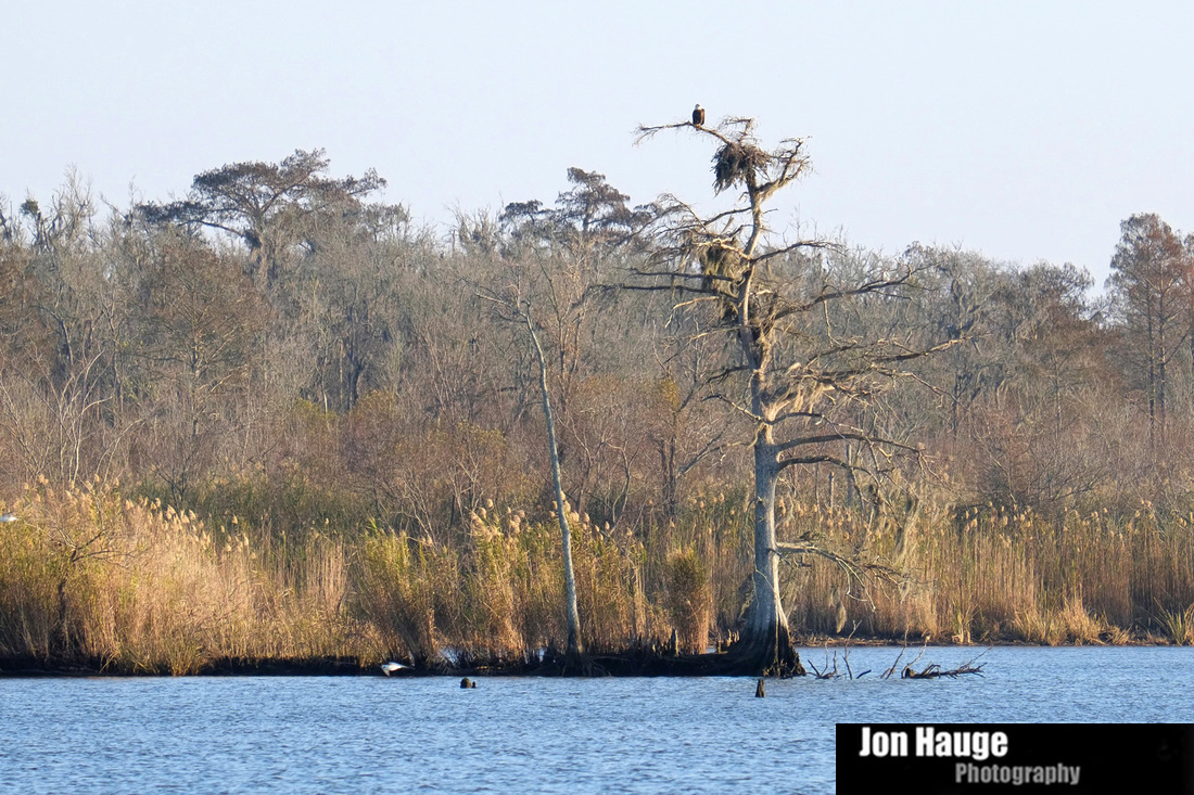 Bald Eagle Mobile Bay