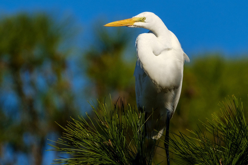 Great in Egret in Gulf Shores
