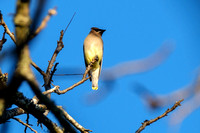 Cedar Waxwing Photography