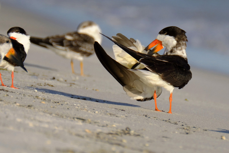 Black Skimmer Behavior