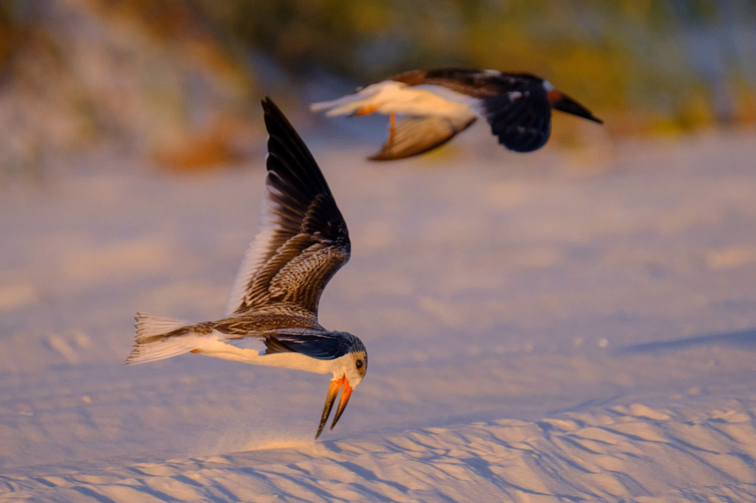Pemsacola Beach Wildlife