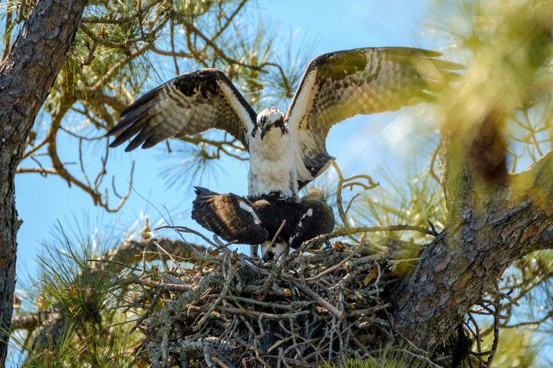 Mating Behavior Osprey
