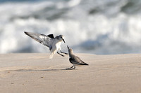 Sanderlings at the Beach