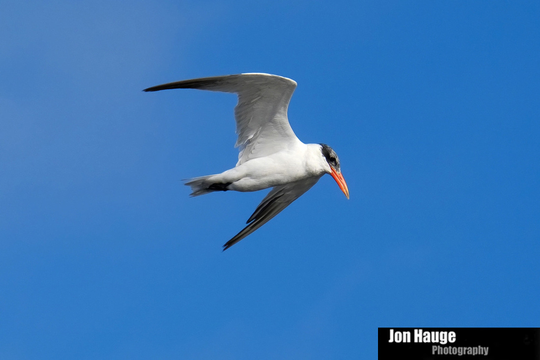 Royal Tern Tensaw River