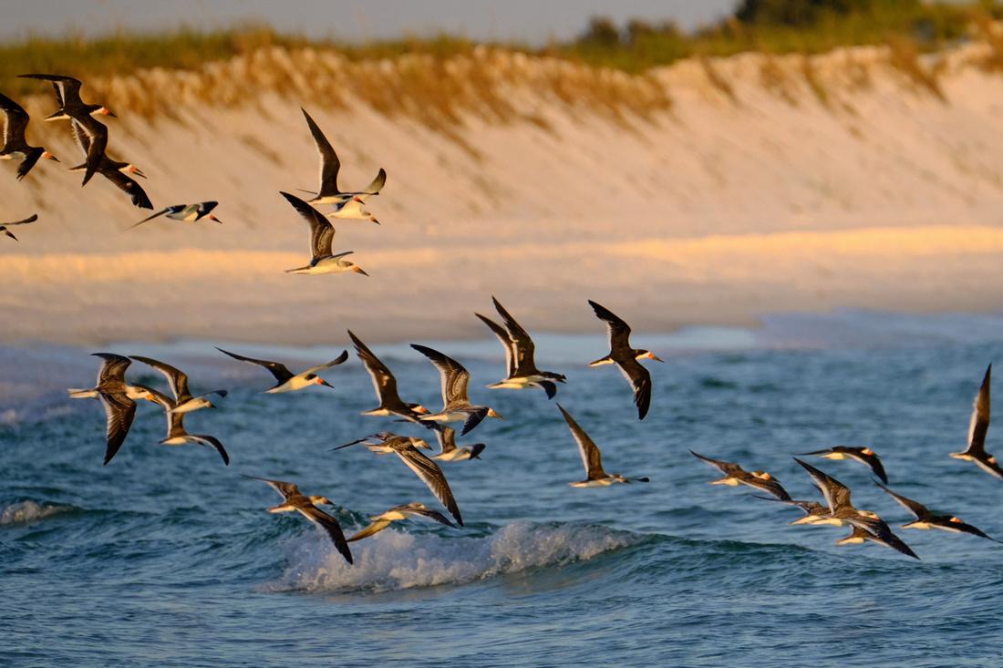 Black Skimmers Flying