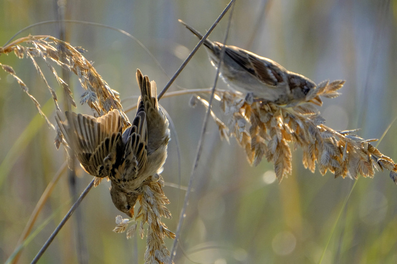 Swamp Sparrows in Orange Beach