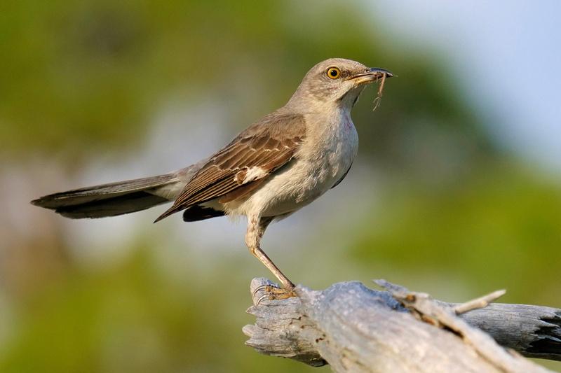 Mockingbird in Fort Pickens