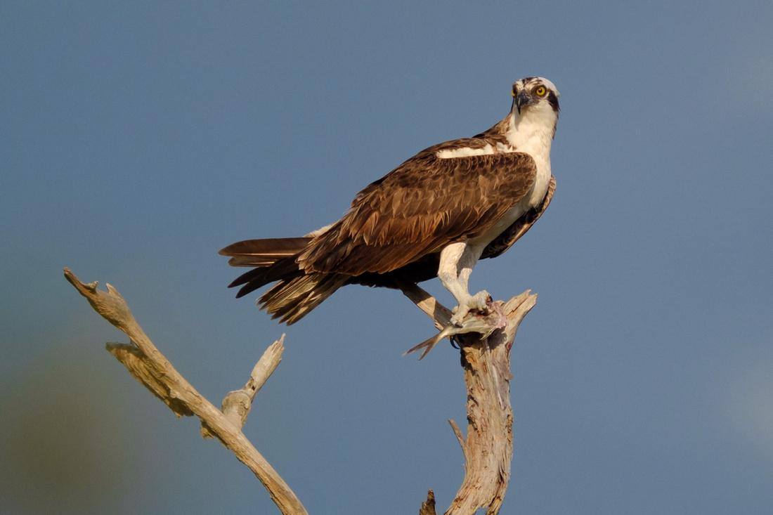 Osprey on the Gulf Coast