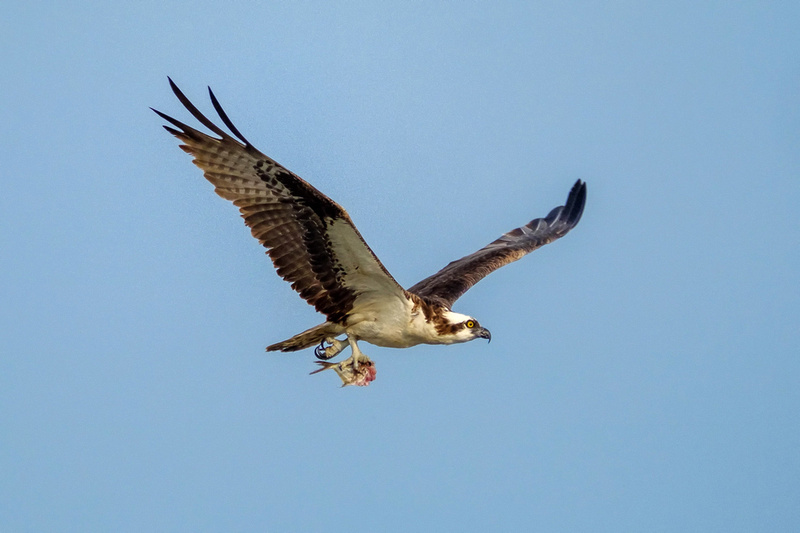 Osprey Fish Catch