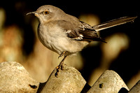 Mockingbird Photography
