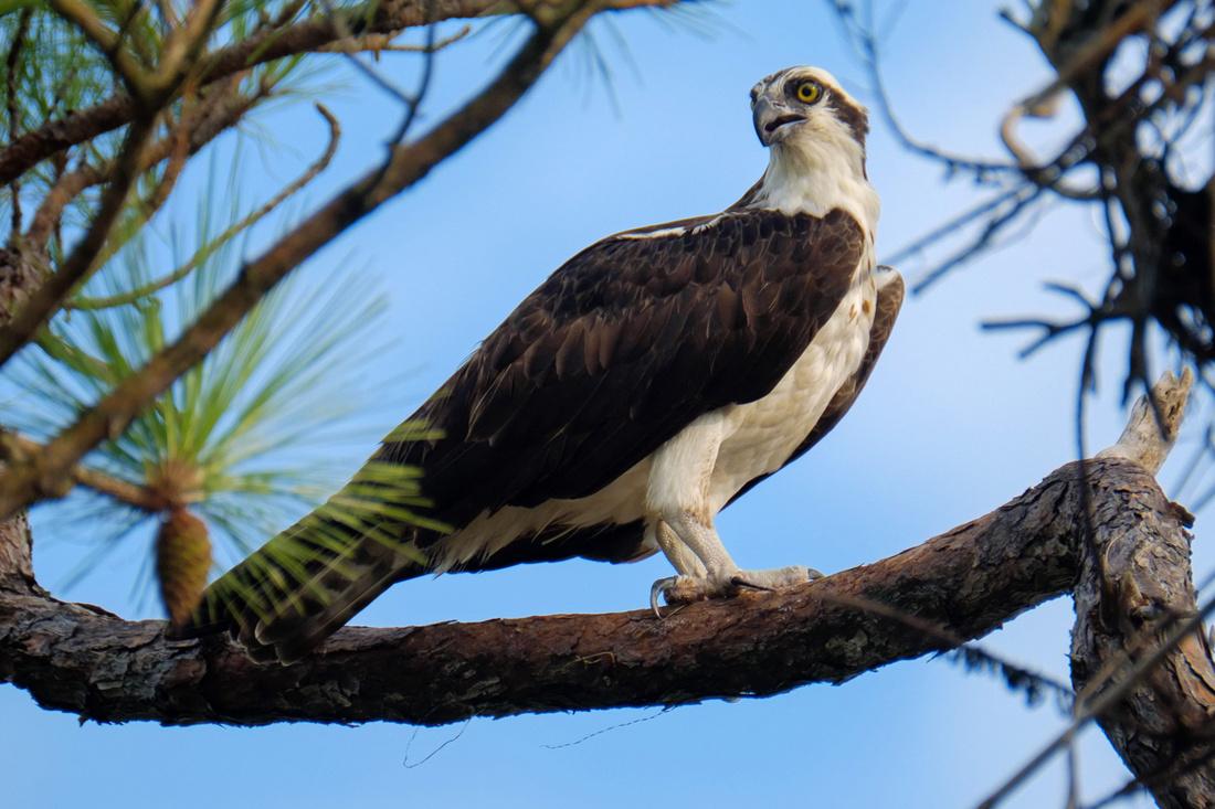 Adult Female Osprey