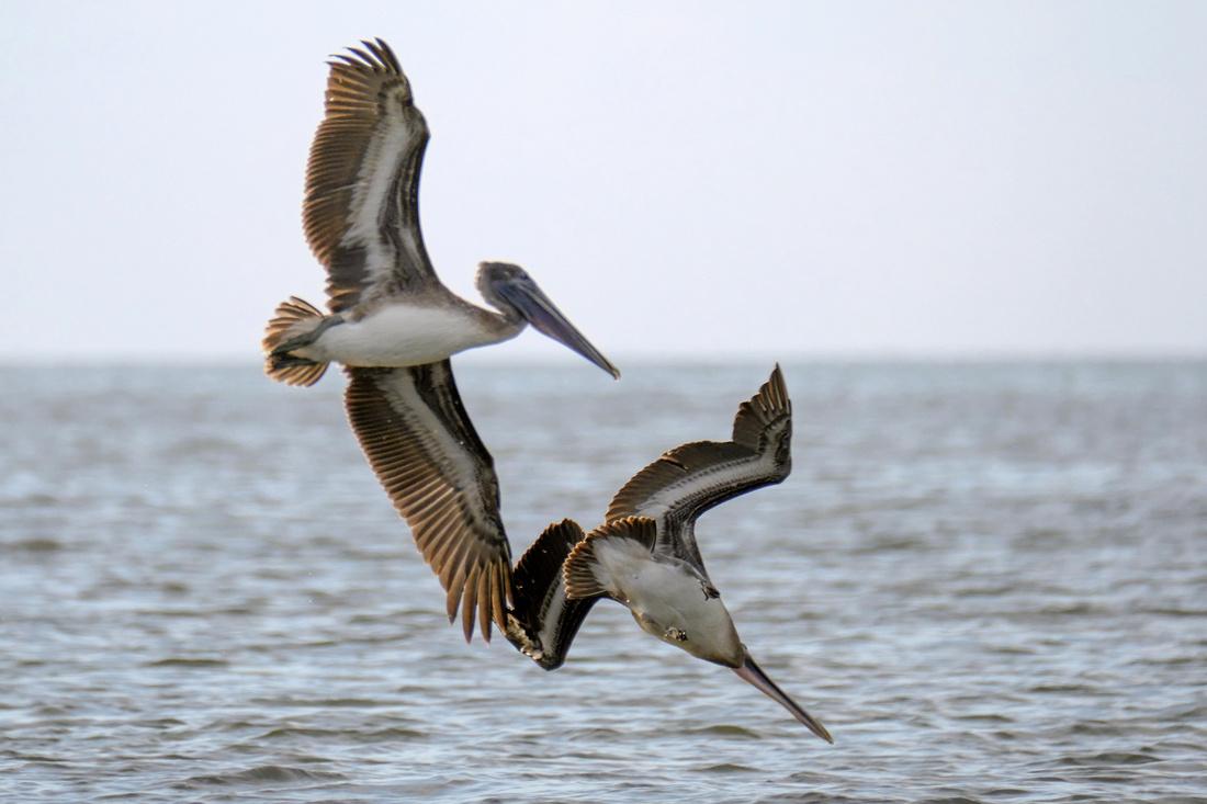Brown Pelicans in Gulf Shores