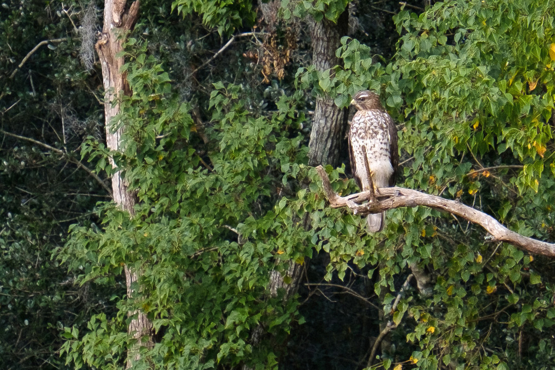 Hawk at Savannah National Wildlife Refuge