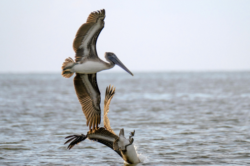Brown Pelicans in Gulf Shores