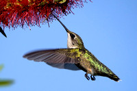 Ruby-throated Hummingbird Photography