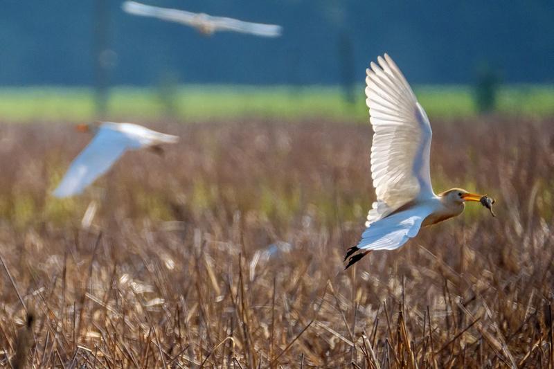 Cattle Egrets in Baldwin County